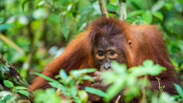 Orangutan from the tropical forest of Borneo. Photo credit: iStock/USO.
