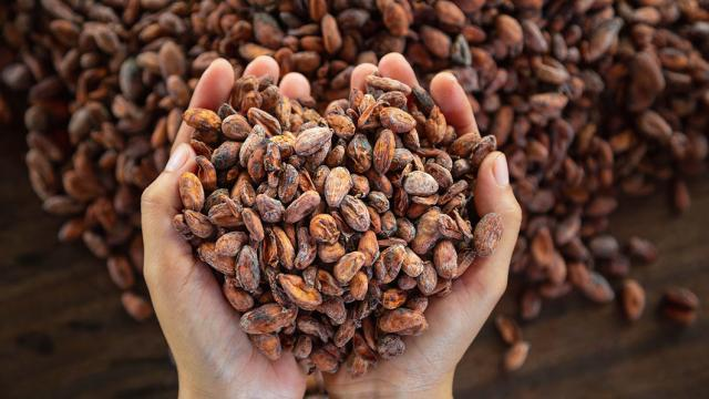 Two hands holding cacao beans